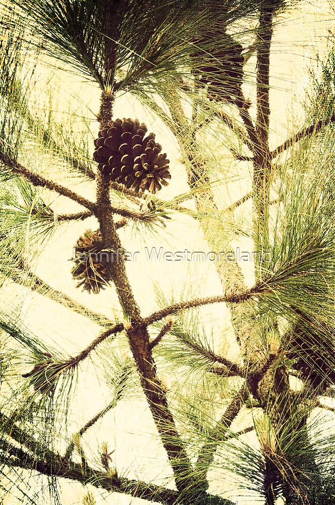 Image of pine cone on long leaf pine tree north carolina for Long pine cones