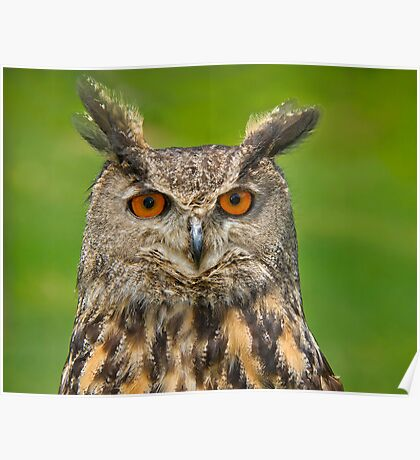 Eagle Eye Owl Poster