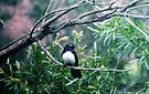 Willy Wagtail in Tree by yolanda