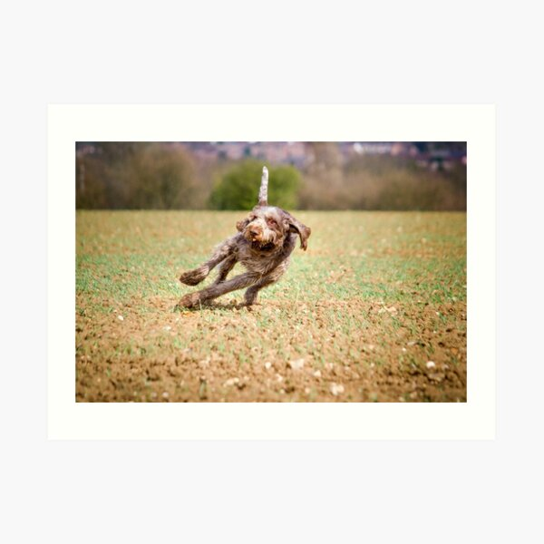 Leaning into the wind Spinone  Art Print