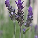 Leaning Lavender by Astrid Ewing Photography