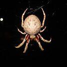 Garden Orb-weaving Spider - Parkdale, Victoria by gen1977