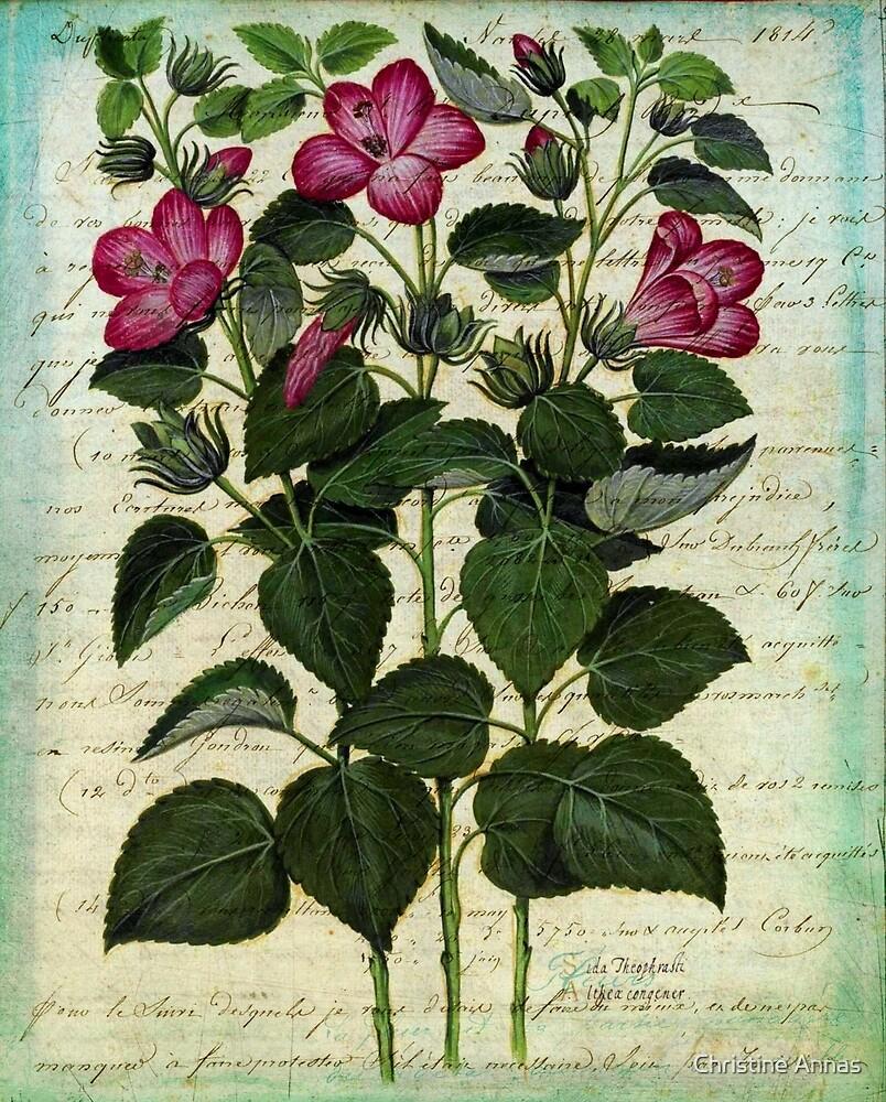Italian Hibiscus Vintage Botanical  by Christine Annas