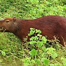 Capybara - Amazon Basin by Honor Kyne