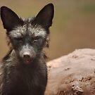 Black fox by tarnyacox