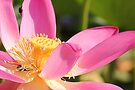 Lotus by NatureGreeting Cards ©ccwri