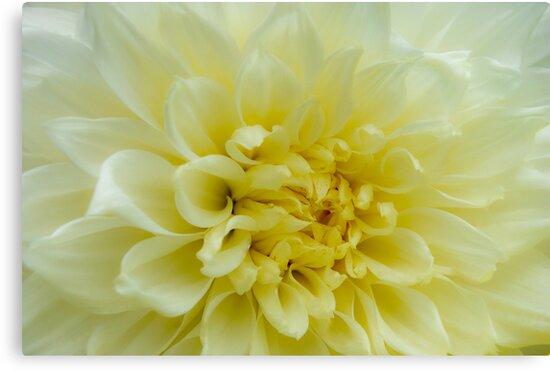 Bright White Dahlia by Neha  Gupta