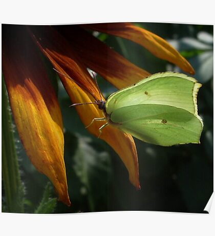 Grass Yellow Butterfly Poster