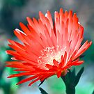 Lampranthus Aureus by Ann  Palframan