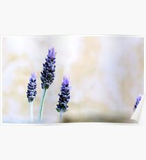 Lavenders Poster