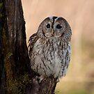Tawny Owl by Val Saxby