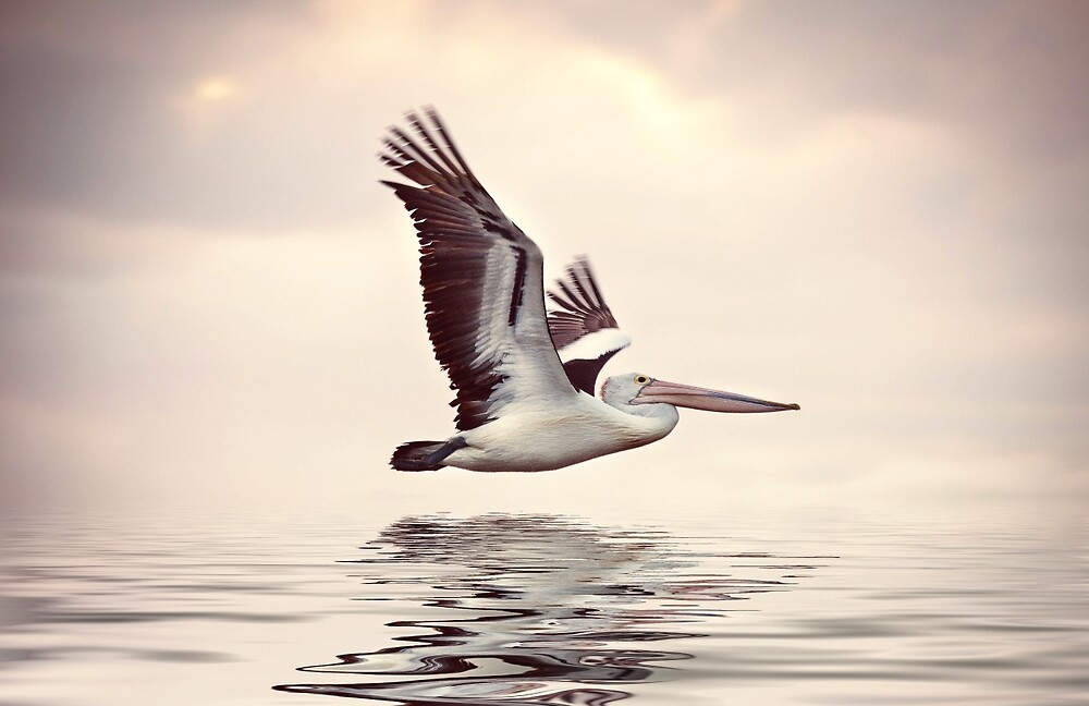 Pelican in flight, Perth , Western Australia by Marc Russo