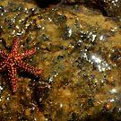Starfish by JasminsPhotos