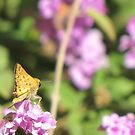 Butterfly ~ Fiery Skipper (Grass Skipper, Skipperling) by Kimberly Chadwick