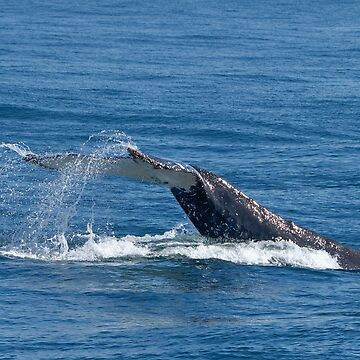 Humpback Whale Tail 3499 by DavidJ