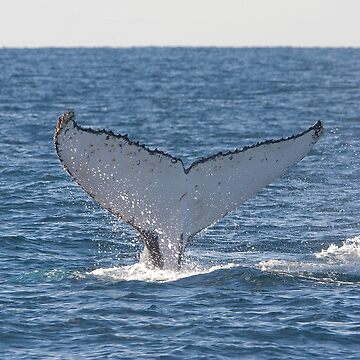 Humpback Whale Tail 8227 by DavidJ