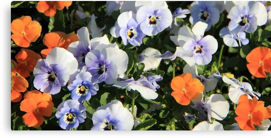 Pansies by Jeanette Harrison