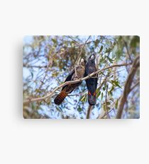 Red tail Black Cockatoo, Perth Western Australia Canvas Print