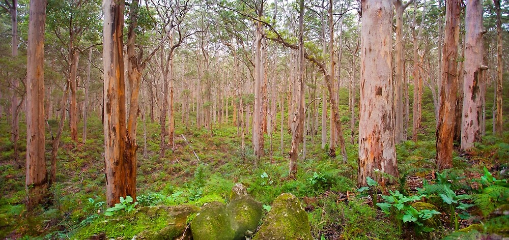 Boranup Karri Forest, Southwest Australia by Marc Russo