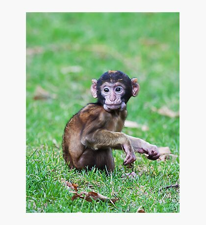 Young Barbary Monkey Photographic Print