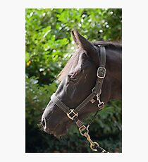Warmblood gelding Photographic Print