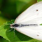 White Fly by vasu