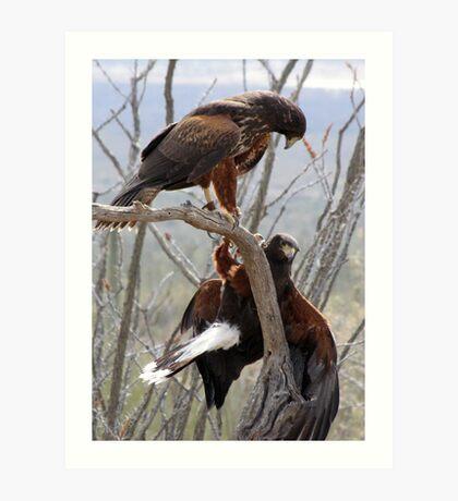 Harris's Hawks ~ Step down! Art Print