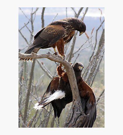 Harris's Hawks ~ Step down! Photographic Print