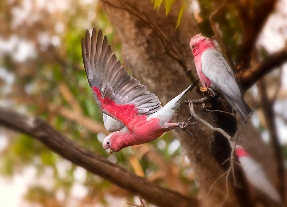Pink & Grey Galah's, Western Australia by Marc Russo