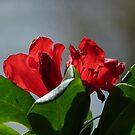Red Rhododenron by Lynn Bolt