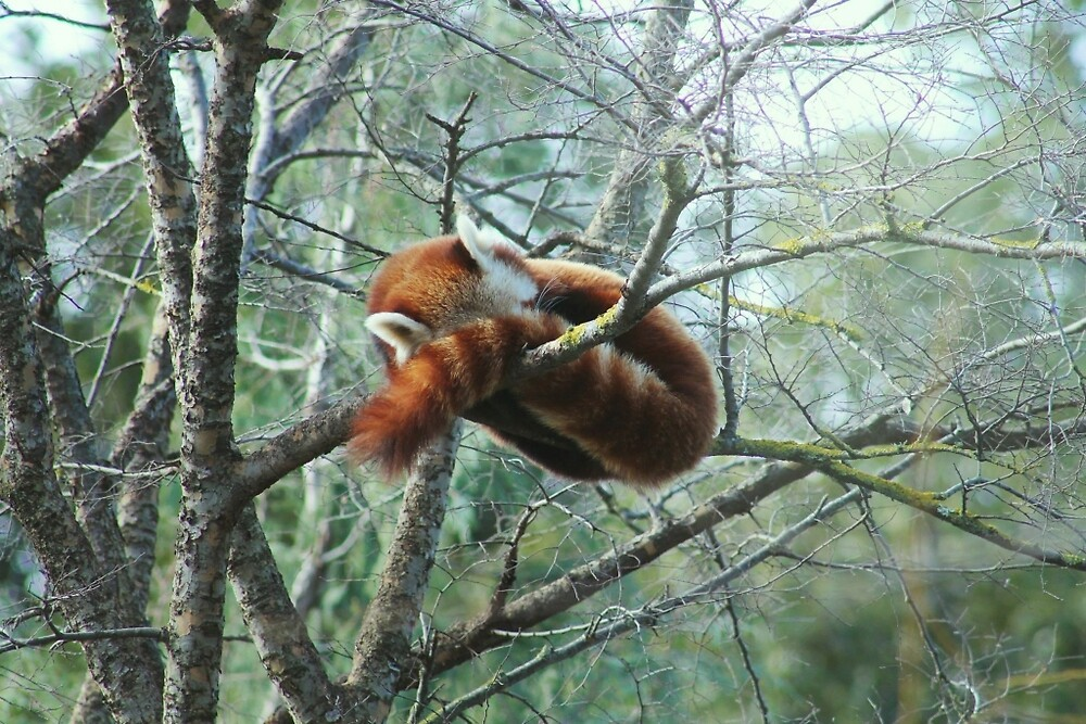 Sleepy Red Panda by AshWphotography