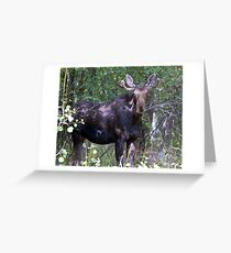 The young bull moose is back Greeting Card