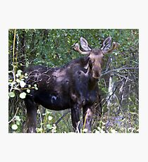 The young bull moose is back Photographic Print