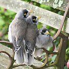 Pot Family (noisy miner chicks) by Sherie Howard