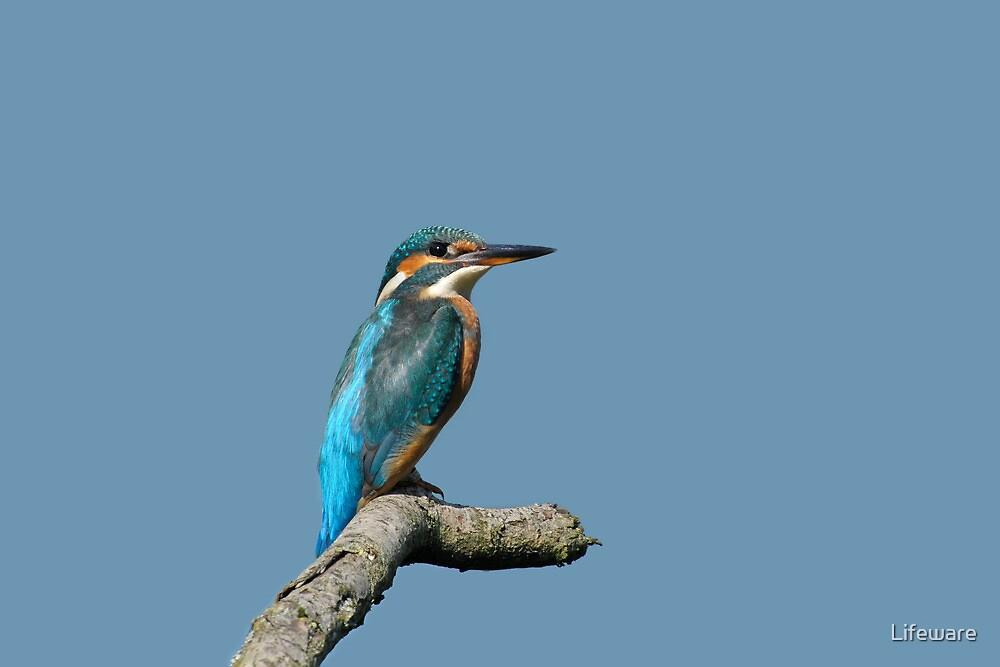 Kingfisher by Lifeware