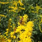 Hoverfly by eggnog