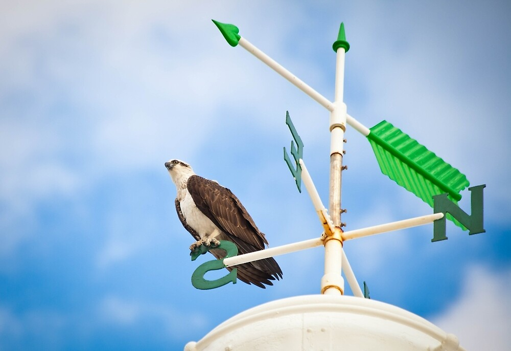 Osprey on a compass by Marc Russo