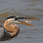 Great Blue Heron by photosbyjoe