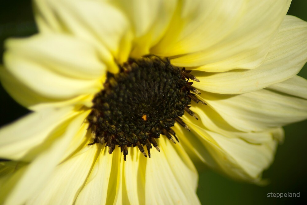 Sunflower Introspection  by steppeland