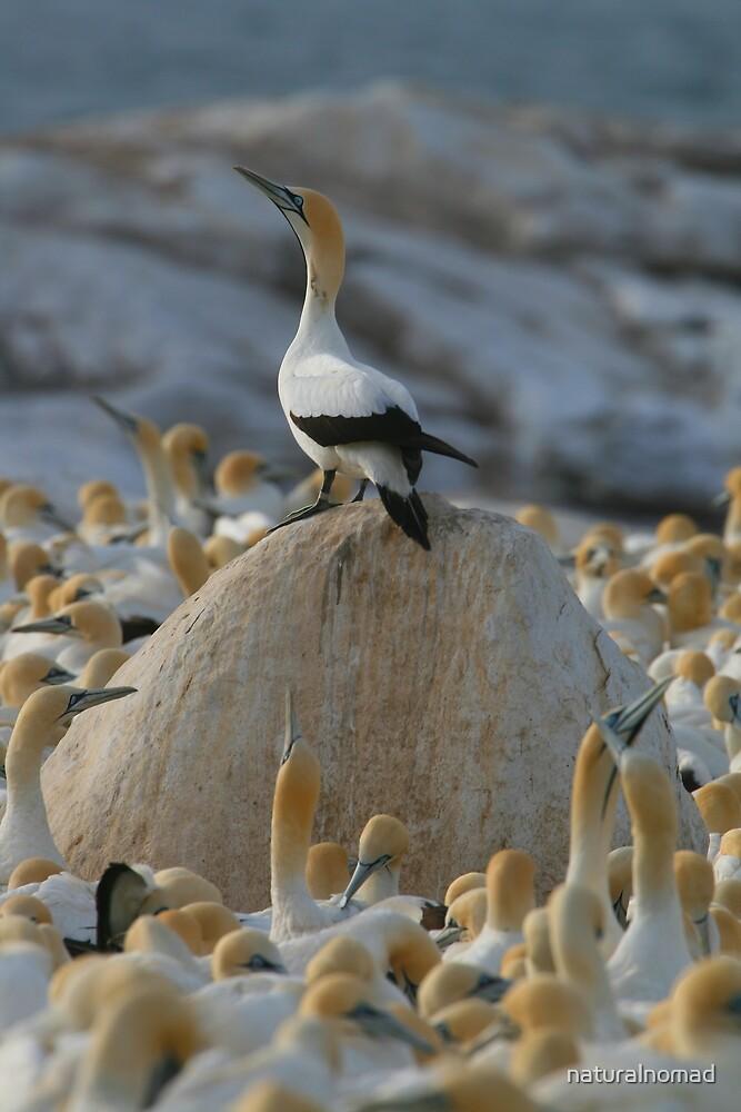 Gannet Kingdom by naturalnomad