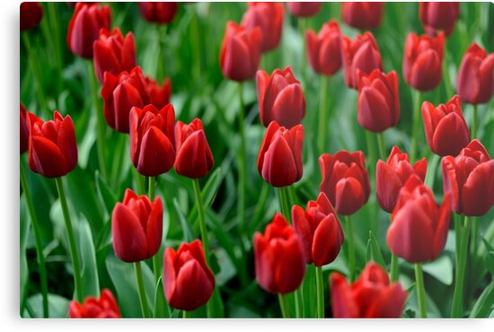 Red Tulips by Or Many