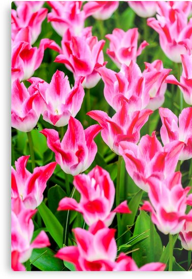 Pink Tulips by Or Many