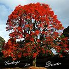 Illawarra Flame Tree, South Rd Drouin.  by Bev Pascoe