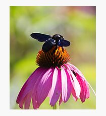 bee on echinacea in the garden Photographic Print