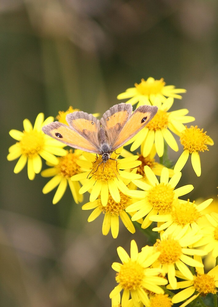 Gatekeeper enjoys the yellow flowers by avocet
