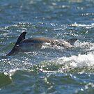 Bottlenose Dolphin Calf by kernuak