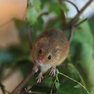 Field mouse by yampy