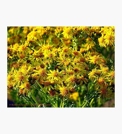 Wild Sunshine (Common Ragwort, Senecioneae Jacobaea) Photographic Print