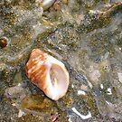 Common Seashell Eight by Robert Phillips