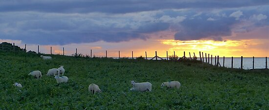 Sheep grazing at sunset by the cliffs near Tudweiliog, Llyn, North Wales by Anna Myerscough